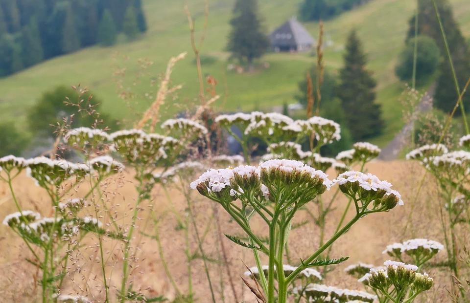 Schafgarbe im Schwarzwald